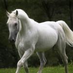 caballo-pura-sangre