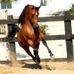 Los caballos con nobleza más apreciados
