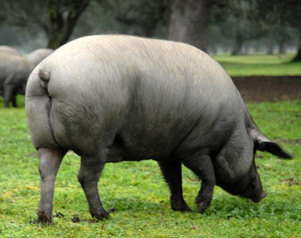 Cerdo Iberico Estilos De Vida Estilos De Vida