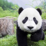 El oso panda es la estrella del zoo
