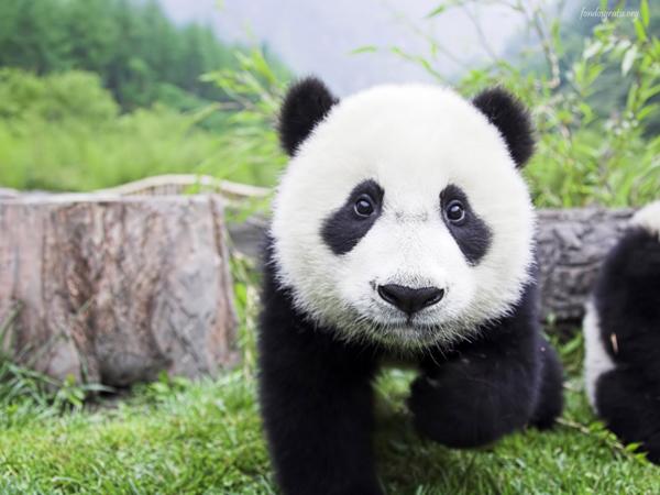 bebe oso panda