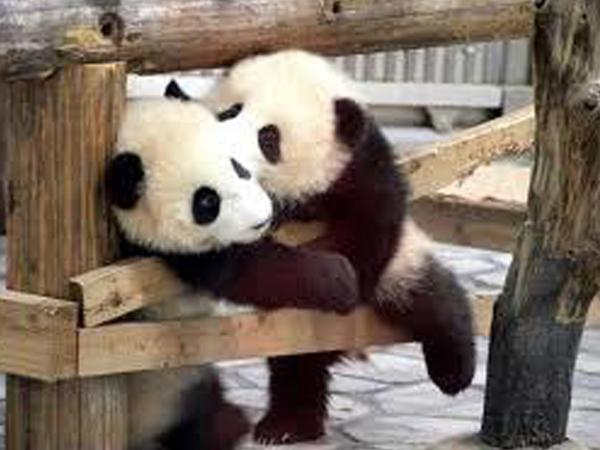 cachorros de oso panda