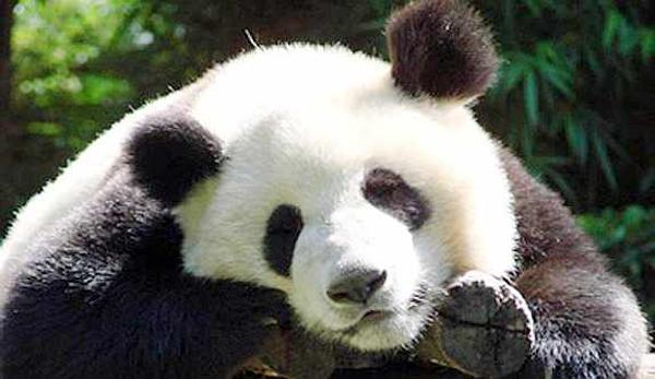 oso panda dormitando
