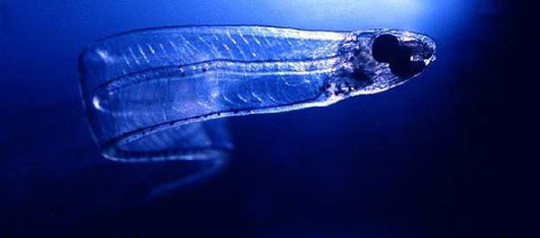 angula mar