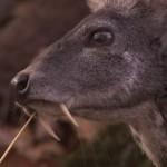 Ha reaparecido el ciervo almizclero de Kashmir