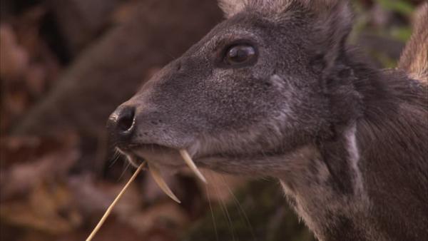 ciervo almizclero de kashmir