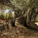 olivera-ulldecona