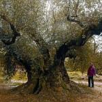 olivo milenario la senia