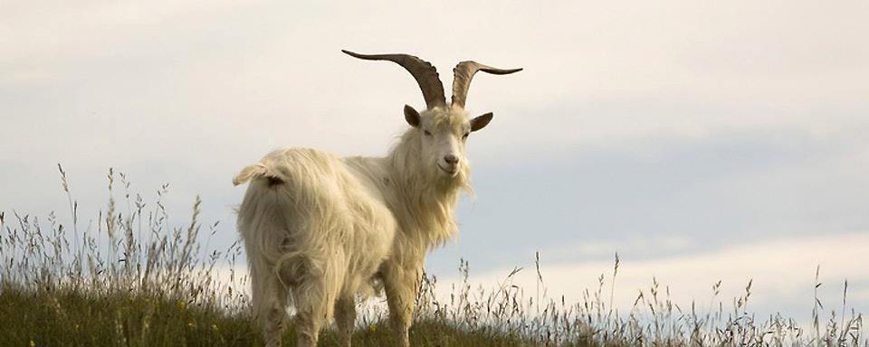 cabra de cachemir