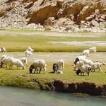 cashmere-cabras