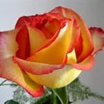 Fotos de rosas para regalar