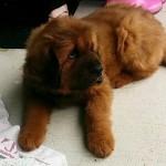 Mastín Tibetano, el perro más caro del mundo
