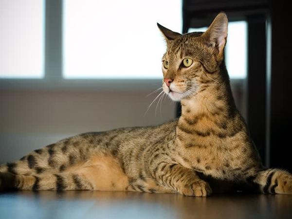 royal-ashera-cat-pictures