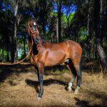 El mejor caballo marismeño se llama Junco