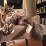 Main Coon los gatos más grandes y deseados