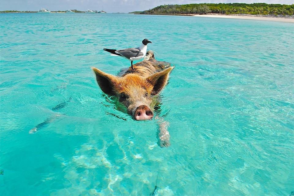 Pig Island, la isla de los cerdos nadadores en Bahamas